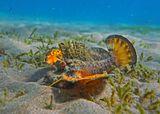При неожиданном приближении фотографа Рыбка резко встрепенулась, подняв вокруг себя взвесь донного песка, распушила крылья- плавники, демонстрируя ядовито- угрожающий окрас, сверкнула огненным глазом  и буквально через мгновение закопалась в грунт.  Нитепёрая Бородавчатка, Красное море