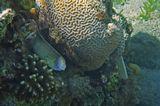 """Когда фотографировала Мурену, создалось впечатление, будто она спрашивала: """"Простите, а Вы мой хвост не видели?"""" )  Мурена Перечная, Коралл Мозговик, Коралл Стилопора Пестичная (слева внизу) Красное море"""