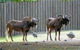 Белохвостый гну или обыкновенный гну, или чёрный гну(лат. Connochaetes gnou). Одна из самых редких антилоп Африки.