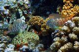 Короткая Экзалия (Рыба- Собачка) в коралловом интерьере.  Красное море