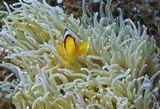 Размер Рыбки не более пяти сантиметров. Снято на глубине около трех метров.  Амфиприон, Красное море
