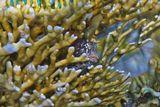 Размер Рыбы- Собачки не более десяти сантиметров.  Короткая Экзалия, Огненный Коралл, Красное море