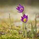 природа,лес,май,подснежники,сон-трава,цветы
