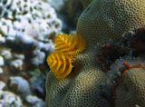 Спиробранхус- Многощетинковый Червь, Коралл Гониастрея Эдвардса.  Красное море