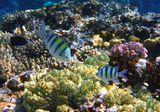 Слева- Абудефдуф Обыкновенный. Справа- Абудефдуф Шестиполосый. Размер Рыбок не более 10 сантиметров. Снято на глубине трех метров.  Красное море