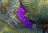 Размер Щупальцев Актинии не больше сантиметра. Снято на глубине трех метров.  Коралл Мозговик, Розовая Актиния, Красное море