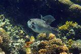 Рыба- Ласточка, Лимонный Леопольдит, Звездчатый Аротрон, Рыба- Носорог в Коралловом Интерьере Красного моря.