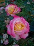 Осенние Цветы - души очарованье... В них- радость и печаль... и Осени дыханье...