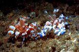 Две креветки арлекины были сняты в Индонезии. пролив Лембе.