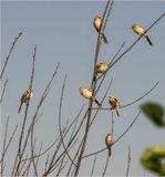 Усатые синицы (Panurus biarmicus), молодняк