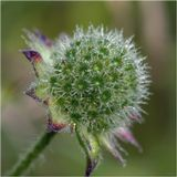Короставник полевой (Knautia arvensis)