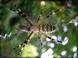Большой красивый паук поймал такую же полосатую осу.  Туапсе, август 2006г.