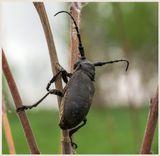 Усач ивовый, или Дровосек-толстяк ивовый, или скрипун-ткач (Lamia textor)