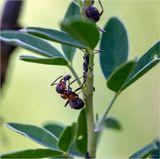 Процесс дойки тли муравьями