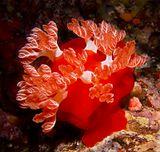 Кроваво-красный гексабранхус (Испанский танцор) Красное море Сент Джонс