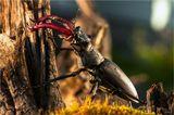Жук-олень (Lucanus cervus). Самец