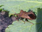 Краевик окаймлённый-краевик щавелевый- (Coreus marginatus)