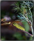 Гусеница бабочки Махаон (Papilio machaon) на укропе.