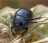 Навозник лесной (Anoplotrupes stercorosus Scr.)