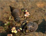 Прудовики (Lymnaeidae) в естественной среде обитания