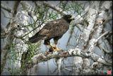 Galapagos Hawk, он же Buteo galapagoensis. Единственный хищник на Галапагосских островах. Стало быть, по определению, он на самой вершине пищевой цепочки.