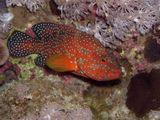 Коралловая гаруппа (Cephalopholis miniata)