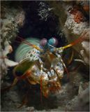 Mantis shrimp (креветка-богомол)