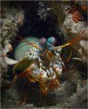 Mantis shrimp (креветка-богомол)О. Миндоро, Филиппины