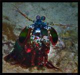 Филиппины, о-в Malapasqua. Креветка Богомол (Mantis Shrimp)
