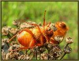 Майские жуки - довольно непоседливые создания...  Но если на свежепойманного насекомого, аккуратно зажатого в кулаке сильно дунуть... то 5 минут офигения обеспечено, что и требуется. Правда они усы при этом скливают...
