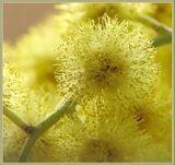 Первые из весенних цветов.Мимоза, а точнее - акация серебристая крупным планом...И не верьте Булгакову...Желтый - цвет Солнца!