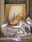 Эта курица упорно не хочет нестись в курятнике, облюбовав эту кучу газет в сарае. Может она что-то знает или умеет читать?