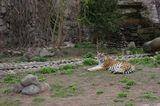 Тигр, которого все достали... Московский зоо