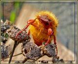 Слегка обалдевший майский жук.