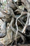 выворотень корни камни...дерево погибло, как ни цеплялось за жизнь, камни, обвитые корнями, падающее дерево вывернуло из глубины земли, и они оказались на поверхности. Скоро дерево истлеет под воздействием воды и солнца, мёртвая хватка ослабнет, и всё вернётся на землю...)