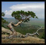 Дождем не смыло, ветром не сломало,Не выжгло солнцем на скале!Учиться надо у деревьев:Расти и жить наперекор судьбе!----------------------------------------В древних горах Бурятии.