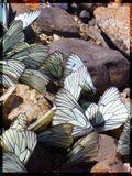 Сезон активности этих бабочек в разгаре. Сейчас их очень много на берегах Иртыша. В большом колличестве - раздражают, а вот ..в небольшом..очень даже ничего:))