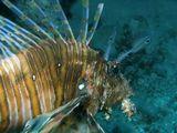 Крылатка Зебра (Pterois volitans) Красное море, риф Marsa abu Galiawa