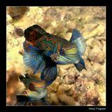Филиппины. Остров Малапаскуа. Mandarin-fish или по-просту - мандаринка. Очень экзотичные рыбки, увидеть которых можно в сумерках перед самым закатом солнца, во время процесса спаривания. Очень пугливые и боятся яркого света подводных фонарей.