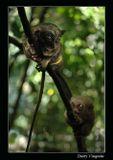 Филиппины. Остров Бохол. Самые маленькие в мире обезьяны - долгопяты.