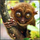 Это Филиппинский лемур-долгопят Tarsier.Снимок сделан на острове Бохол в минизаказнике на берегу реки Лобок.Это самый маленький примат на Земле - лемур-долгопят (Tarsier), живёт только на острове Бохол. Их там осталось менее 200 особей. Размером эти обезьянки от 9 до 16 см, весом - от 70 до 165 г. PENTAX MZ-5n. PENTAX M100/4 macro. FUJICHROME VELVIA 100F