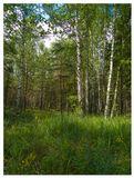 лес, опушка, березы