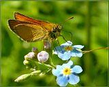 Впервые сама увидела как бабочка пьет нектар. :) Недалеко от реки, на голубой незабудке.