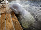 """Белуха - большой дельфин, который живет возле дайв-центра """"Полярный круг"""". Их там два. С большим удовольствием играют и плавают с людьми, катают их на себе, любят когда им чешут язык. ))"""