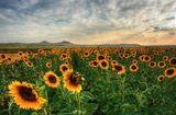 Желтое поле подсолнуховЗалито солнечным светом, И прозрачная дымка аураЗависает над полем, рваная.Она дышит, она смеется,Видно радостно ей живется,Это поле из тысячи жизнейВ одно целое объединенное.