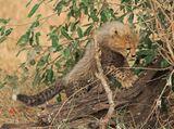 щенок гепарда. совсем малыш. они с возрастом теряют это ирокезик на спине.. но прикольные в детстве панки такие бегают. Мама в кустах сидела, внимательно глядела :)