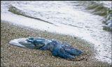 Выброшенная на берег медуза. Бакальская коса, Крым.