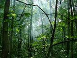 Шепот деревьев в утреннем лесу. Мне почему-то напоминает эльфийскую сказку. Манит вглубь и кружит голову...