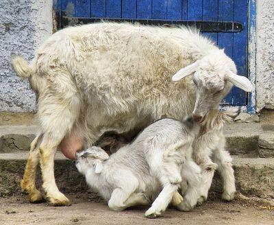 Респект козе. Фото и народные пословицы о козах.